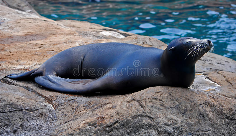 Seal basking in the sun royalty free stock image