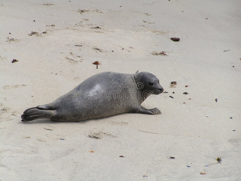 Download Seal on the Beach stock photo. Image of central, beach - 111302