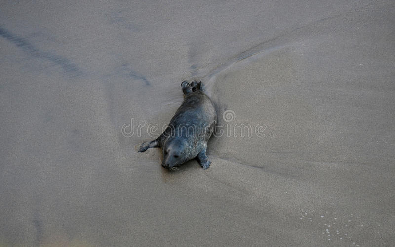 Seal on the beach stock image
