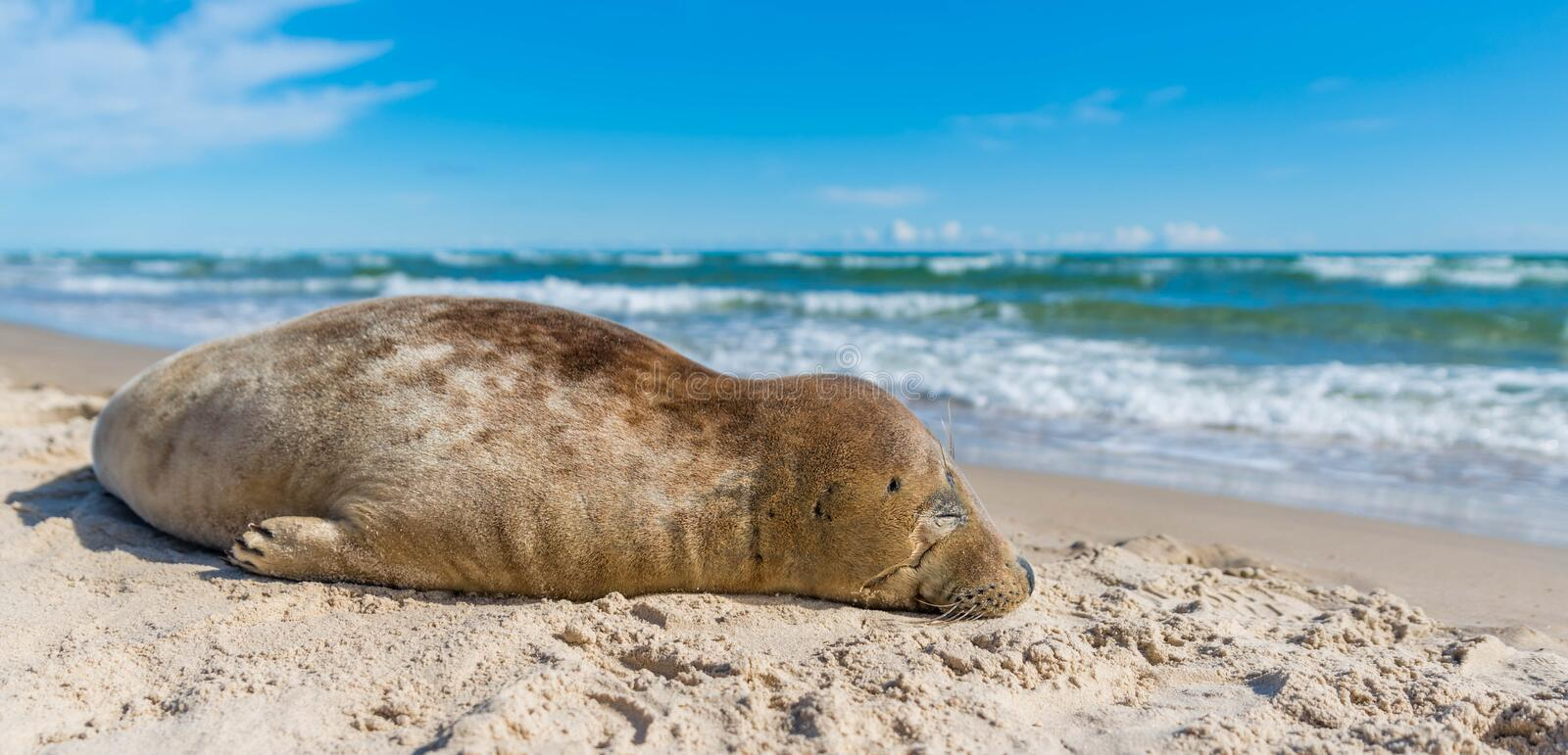 Seal on beach royalty free stock images