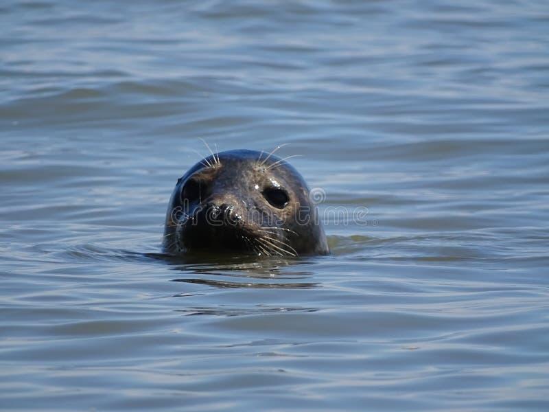 Seal At The Beach Newburgh royalty free stock image