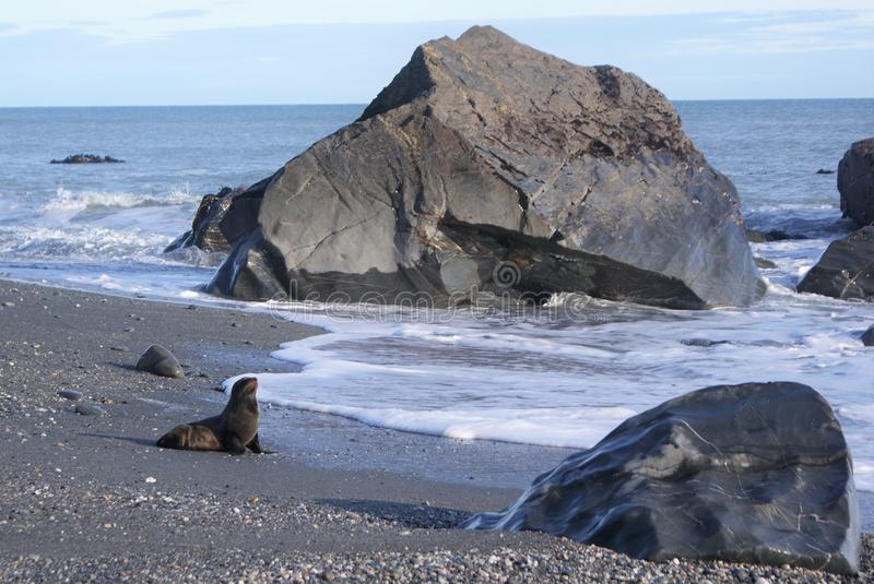 New Zealand Fur Seal on sandy beach royalty free stock image