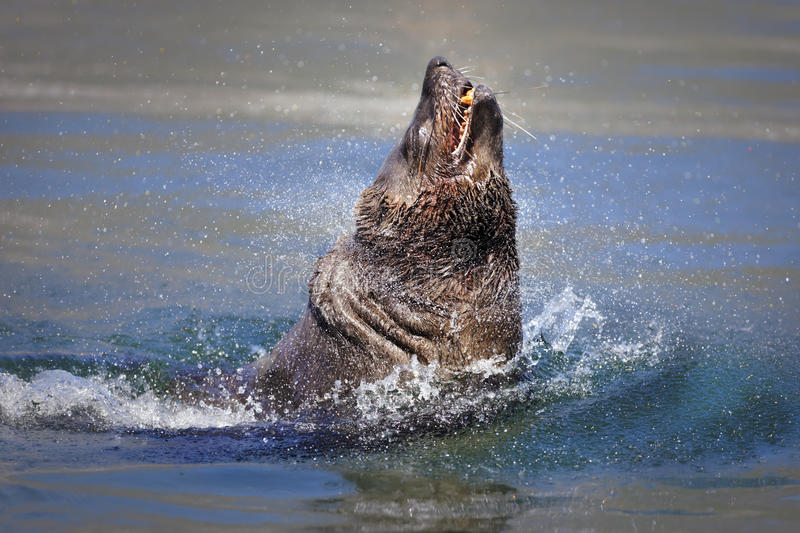 Seal Bursting Out Of The Water Royalty Free Stock Photography