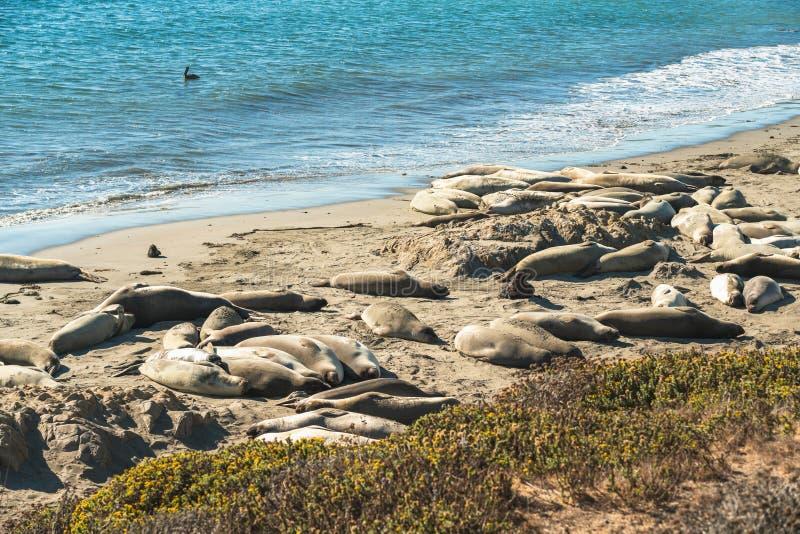 Seals on the beach. Seal colony, California Coastline stock photos