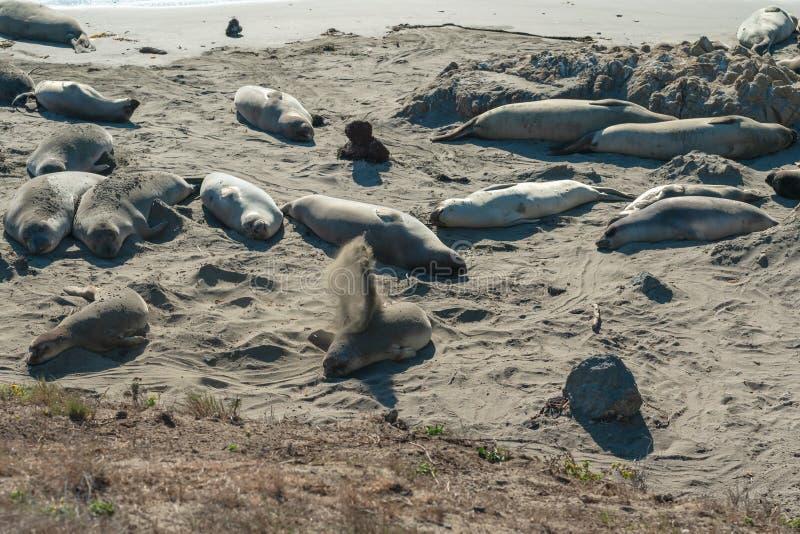 Seals on the beach. Seal colony, California Coastline royalty free stock image