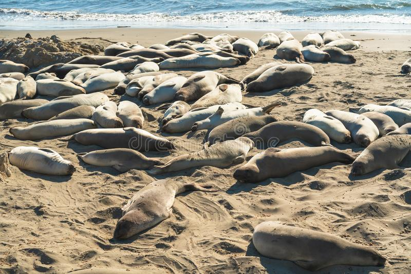 Seals on the beach. Seal colony, California Coastline royalty free stock images
