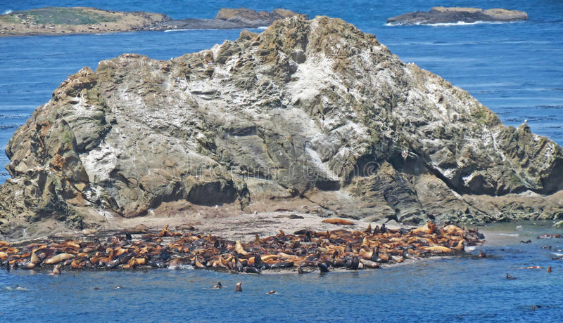 Seal Colony royalty free stock image