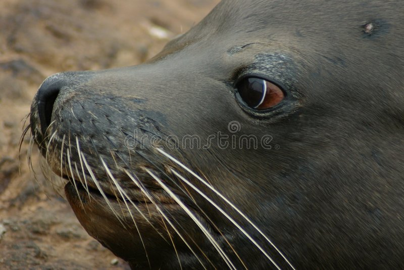 Download Seal Eyes Stock Image - Image: 1414351