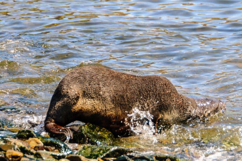 Seal at Godthul. Seals at Godthul, south georgia royalty free stock photography