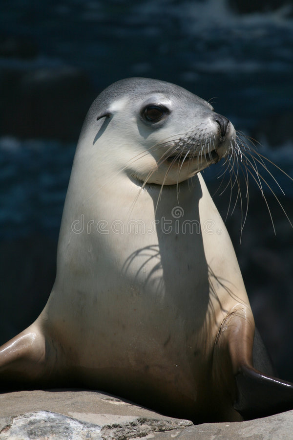 Seal Head Royalty Free Stock Image