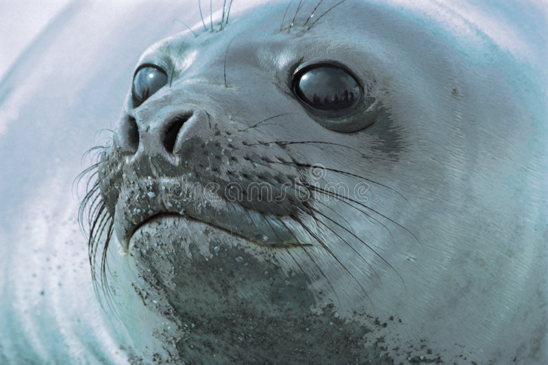 Seal head. A head view of a seal stock photo