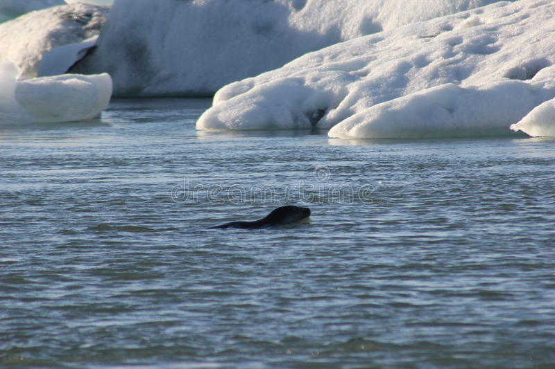 Seal in the ice water stock images