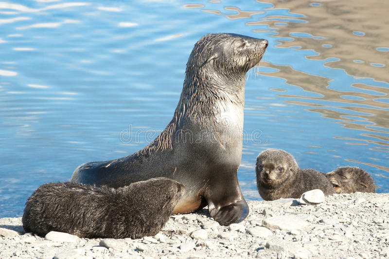 Seal with kids. Seal mother with kids on a sunny day in antarctic summer stock images