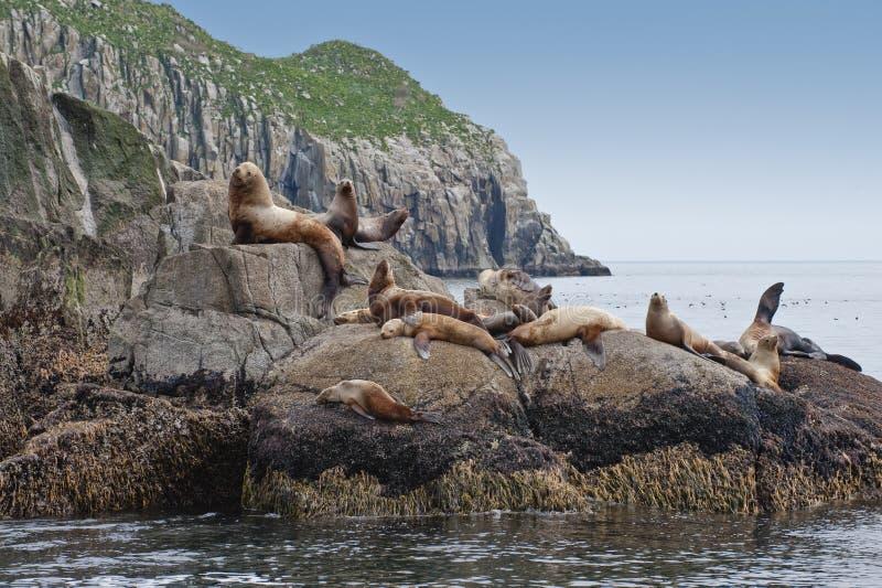 Seal lions on rocky shoreline. Group of sea lions basking on rocky shoreline, Seward, Alaska, America stock photos