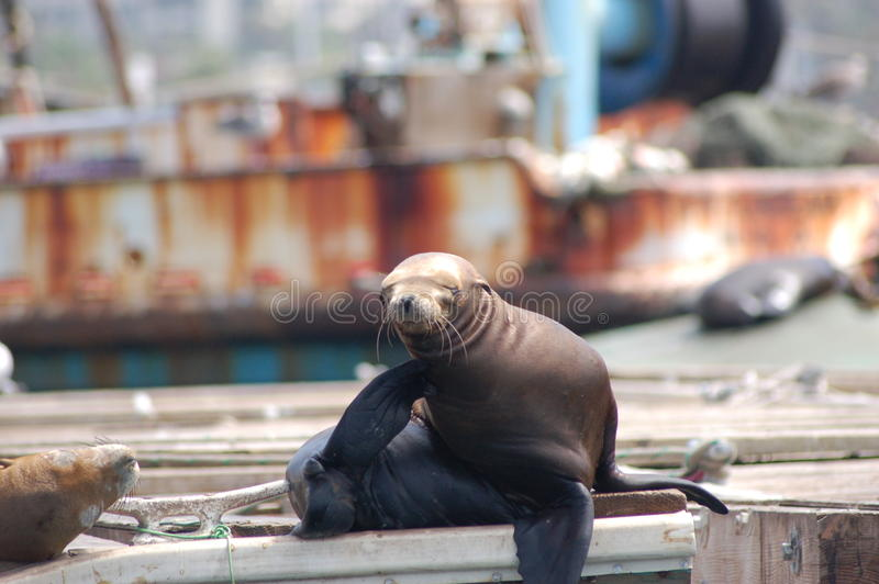 Seal Lounging. In Los Angeles, California stock photo
