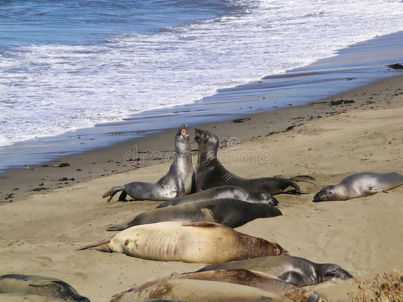 Seal Pacific Coast Highway, Big Sur, California. Seals lounge on the beach near the spectacular Pacific Coast Highway Route 1 in California royalty free stock images