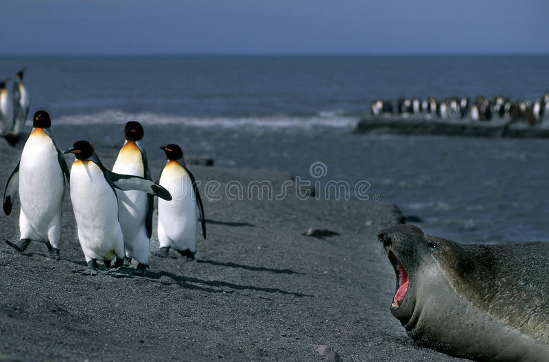 Seal and Penguins, South Georgia stock images