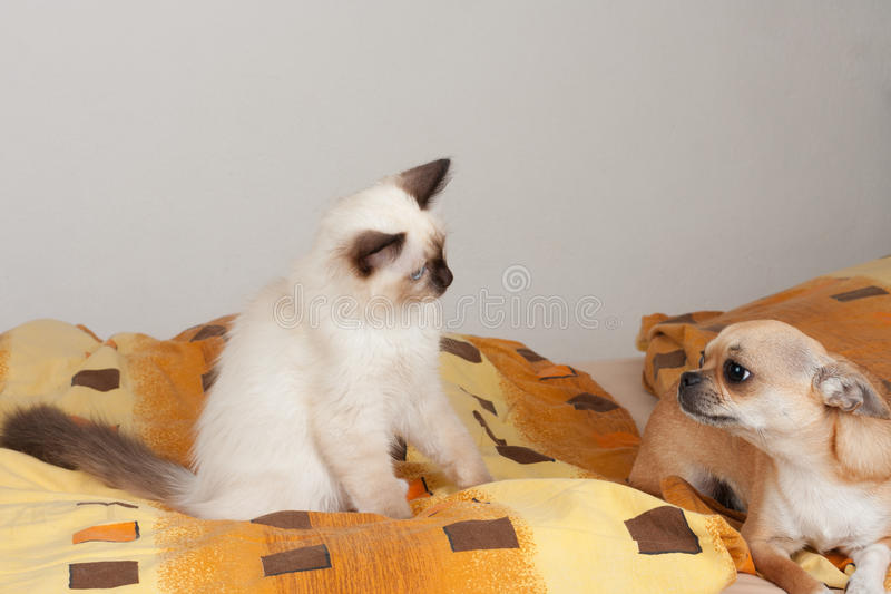 A seal point Birman cat and Cinnamon Chihuahua lie on the bed.  stock photo