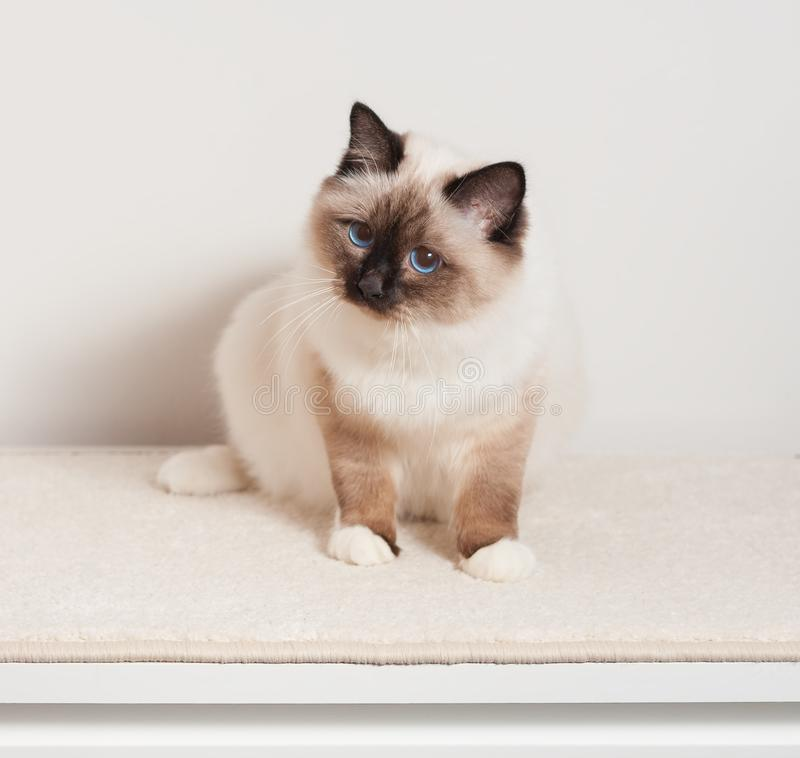 A seal point Birman cat, male sitting on the chest of drawers. A seal point Birman cat, 9 month old kitten, male with blue eyes sitting on the chest of drawers royalty free stock photo
