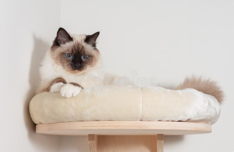 A seal point Birman cat, male with blue eyes is lying on cat she. A seal point Birman cat, 9 month old cat , male with blue eyes is lying on cat shelf royalty free stock photo