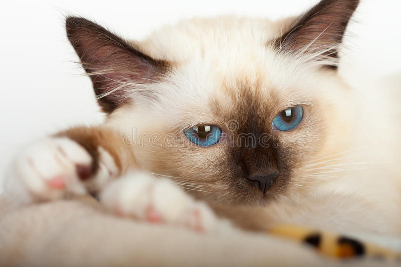 A seal point Birman cat, 4 month old kitten, male. royalty free stock image