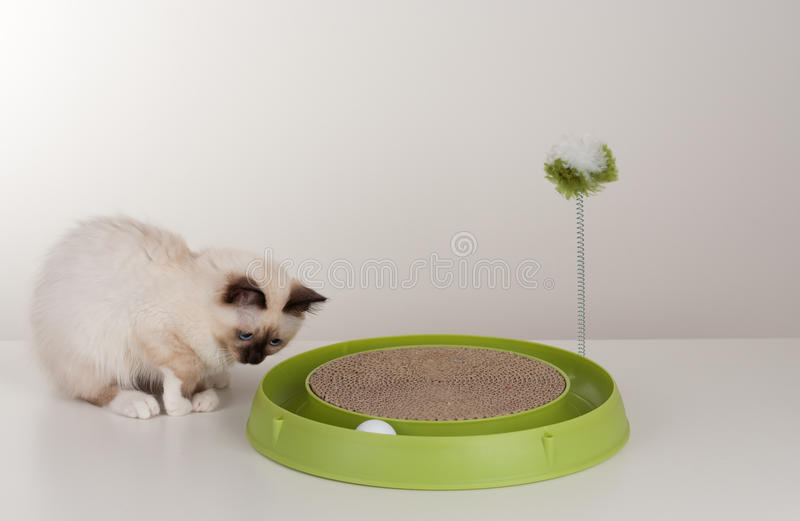 A seal point Birman cat, 4 month old kitten, male. A seal point Birman cat, 4 month old kitten, male with blue eyes playing with scratch pad with ball stock images