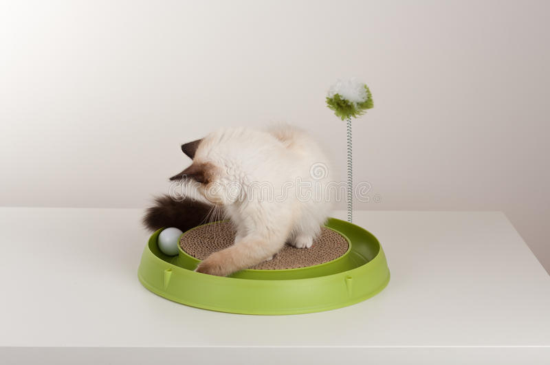 A seal point Birman cat, 4 month old kitten, male. A seal point Birman cat, 4 month old kitten, male with blue eyes playing with scratch pad with ball royalty free stock images