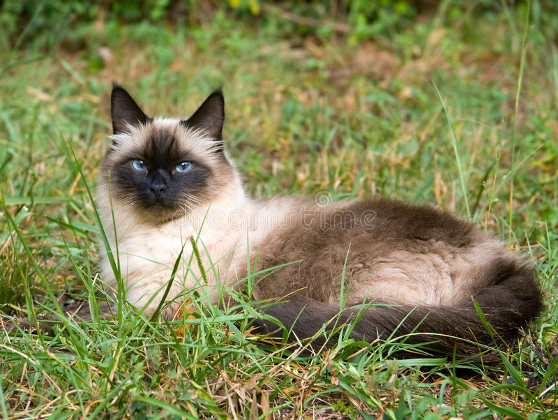 Download Seal Point Cat stock image. Image of point, birman, lying - 6561195