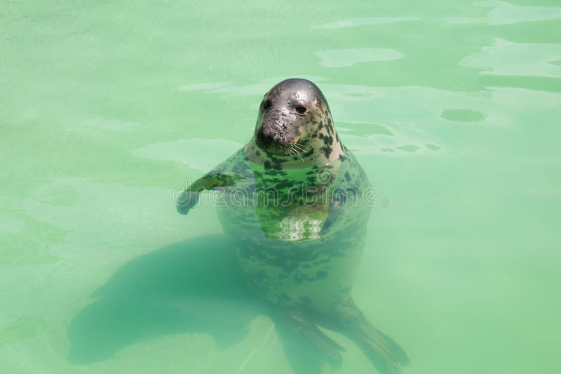 Download Seal in the pool stock photo. Image of animal, water - 19970952