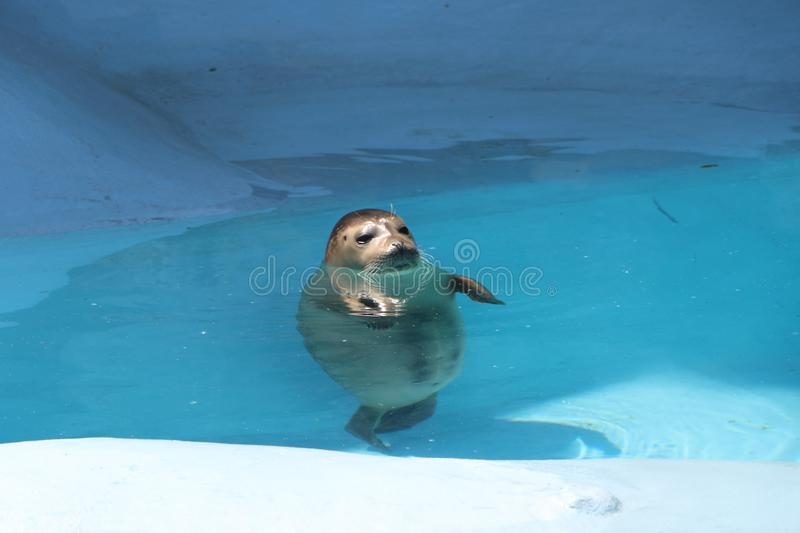 Download Seal in pool stock photo. Image of people, north, mammal - 93475880