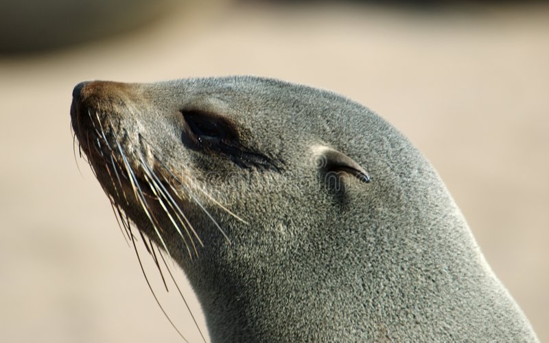 Seal portrait royalty free stock photo