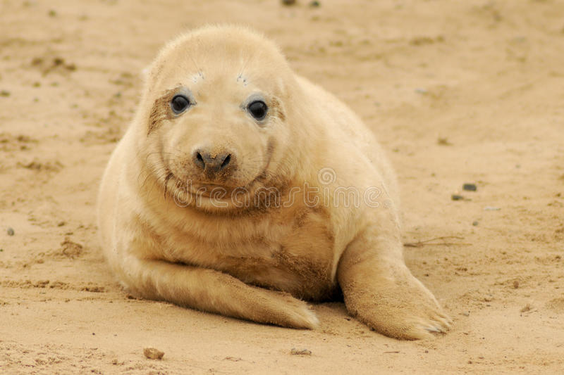 Download Seal Pup Royalty Free Stock Images - Image: 17161249
