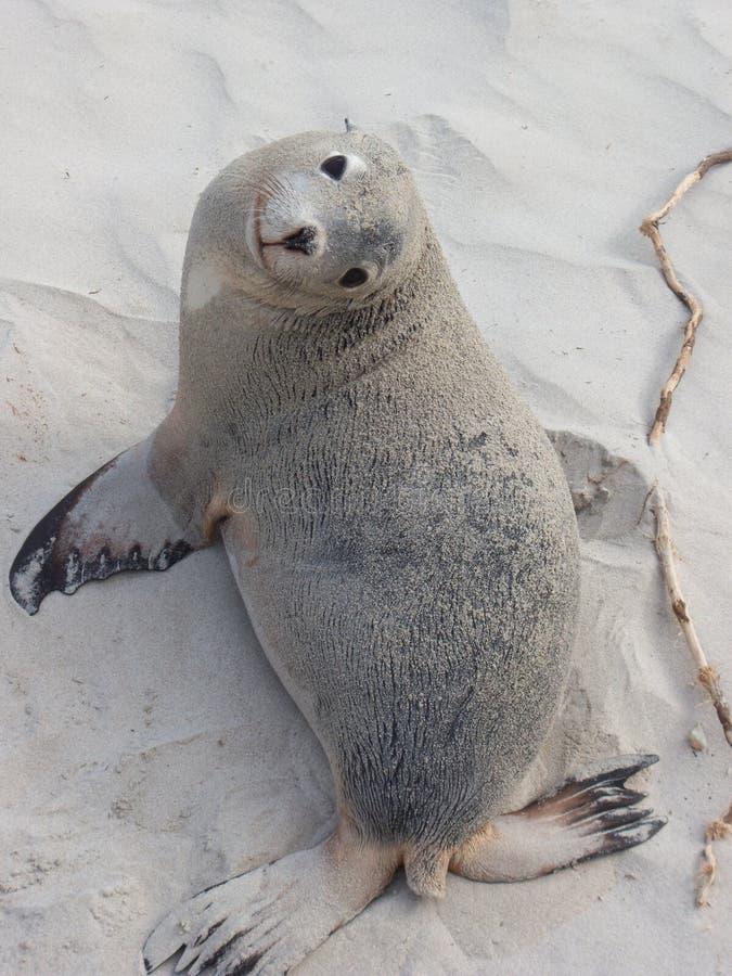 Seal Pup 2 royalty free stock image