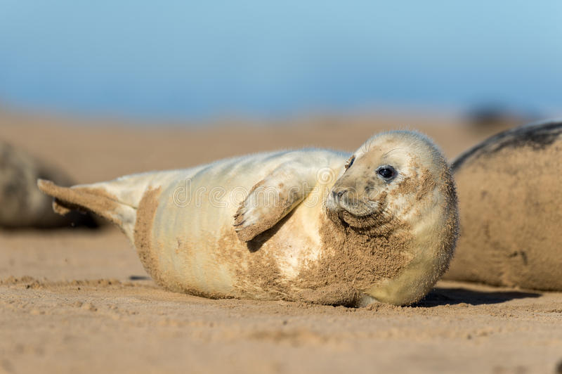 Download Seal Pup Stock Photo - Image: 28019150