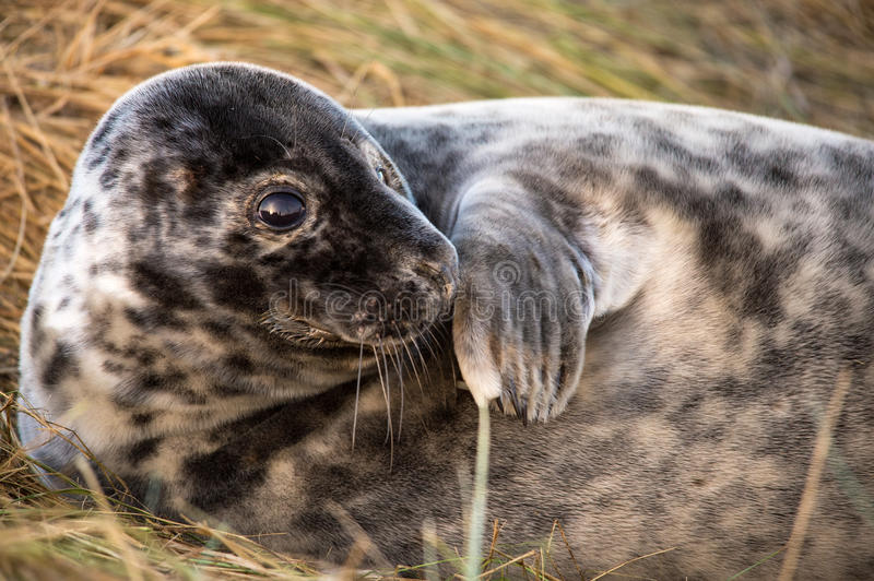 Download Seal Pup stock photo. Image of halichoerus, seal, donna - 28256636