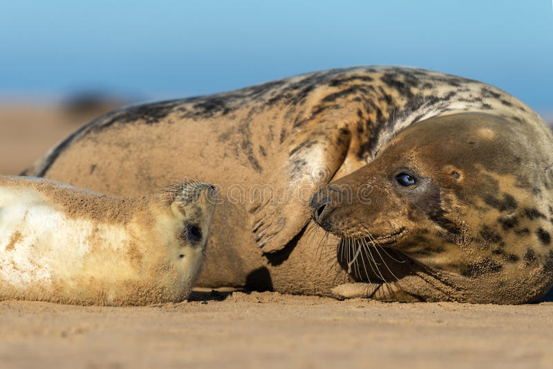 Seal Pup & Mother Royalty Free Stock Photography