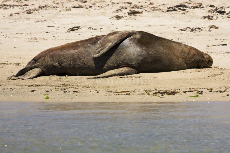 Seal resting royalty free stock photos