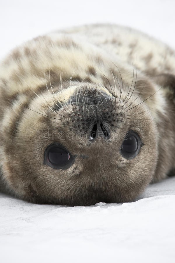 Download Seal rests stock image. Image of close, antarctica, life - 18058775