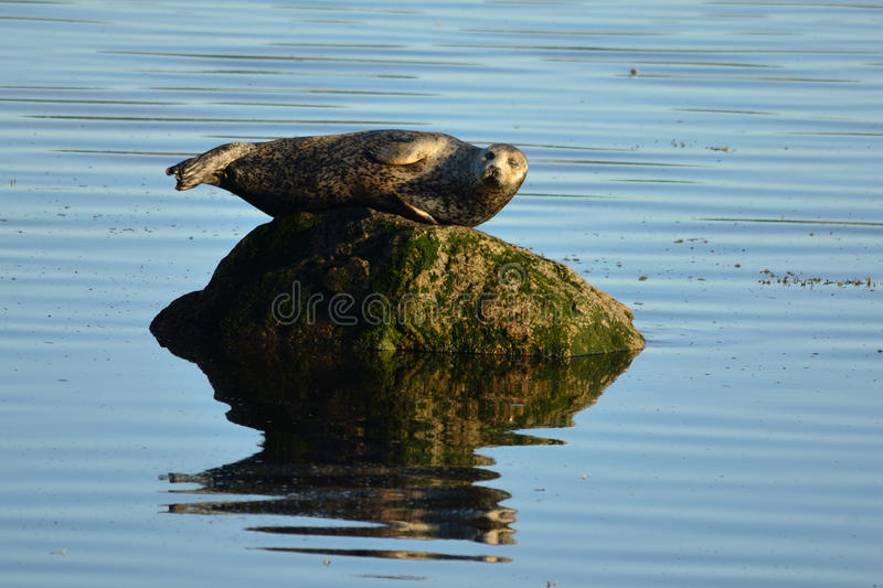 Seal on Rock royalty free stock photos