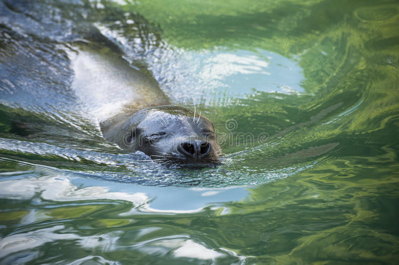 A Seal S Serenity Royalty Free Stock Images