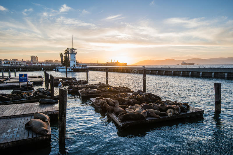 Seal (sea Lions) at the Pier 39 of San Francisco with beautify yellow sunset over dark sea. Pier 39 is a shopping center and popular tourist attraction built stock photos