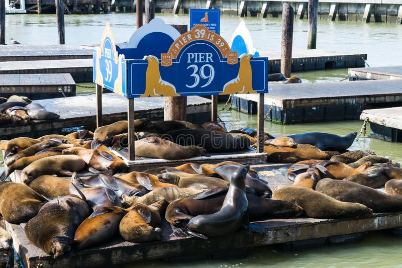 Seal - sea Lions - at the Pier 39 of San Francisco. Pier 39 is a shopping center and popular tourist attraction built on royalty free stock photo
