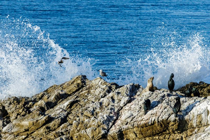 Seal, seagull and cormorant sitting on rock; wimbrel flying. Ocean and wave breaking against rock in background. stock photos