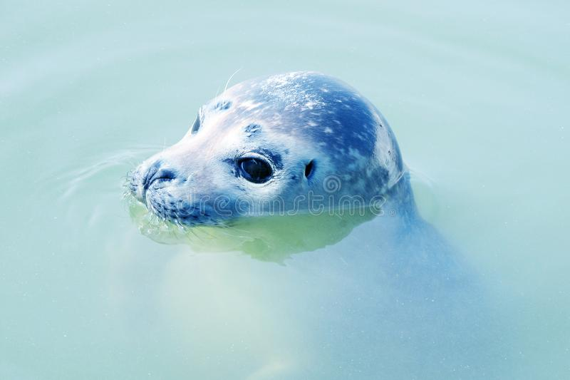 Seal serene looking cuty stock photography