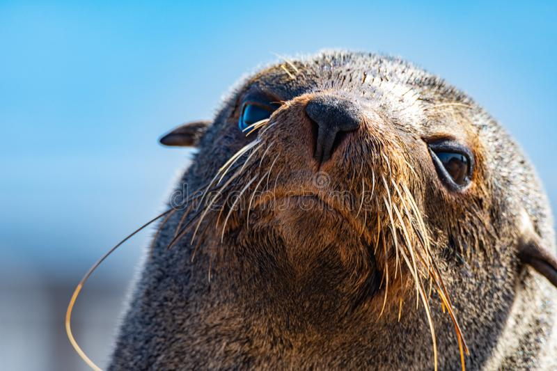 A seal on the Skeleton coast. Seal on the famous skeleton coast in Namibia. 2 millions of theme are living here stock photo