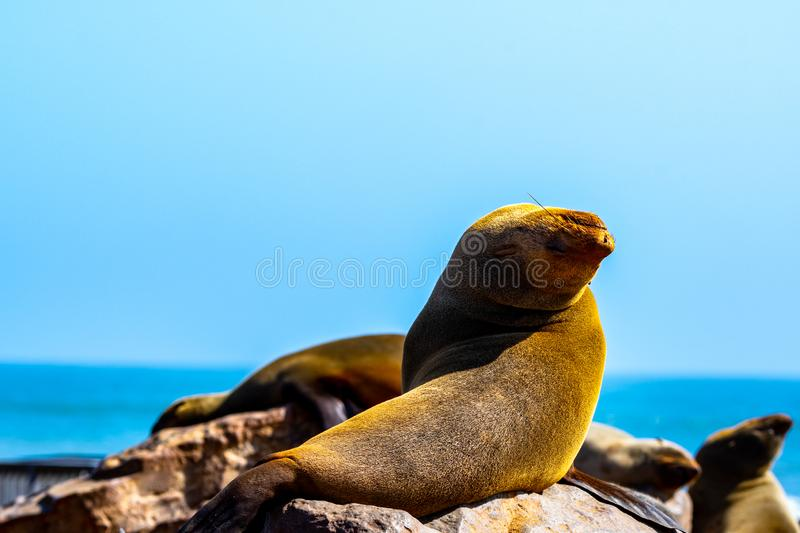 A seal on the Skeleton coast. Seal on the famous skeleton coast in Namibia. 2 millions of theme are living here stock photos