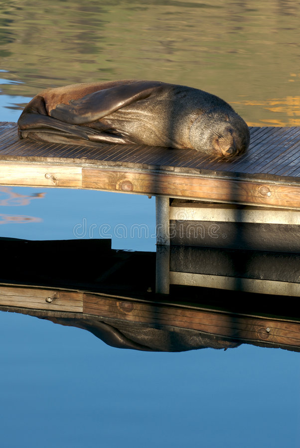 Seal sleeping in the morning s stock images