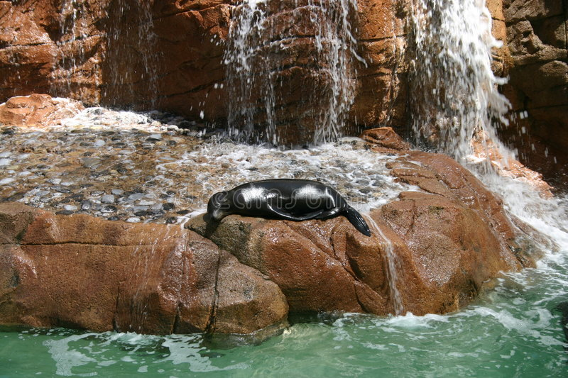 Seal sleeping on a rock stock images