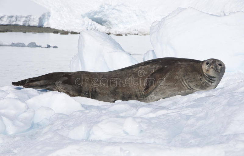 Seal On The Snow. Antarctic Stock Images