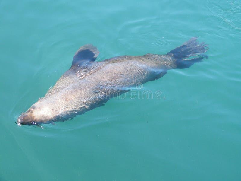 Seal Swiming stock image